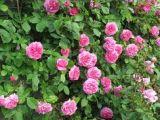 Drawings Of Climbing Roses 189 Best Garden European formal Informal Climbing Roses Mixed W
