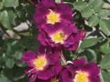 Drawings Of Climbing Roses 25 Best Roses that Can Climb Images Beautiful Roses Rose