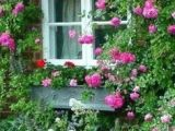 Drawings Of Climbing Roses 366 Best Rose Bushes and Climbing Roses Images Climbing Roses