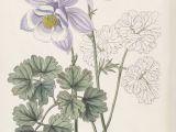 Drawings Of Columbine Flowers Aquilegia Vulgaris Subsp Vulgaris as Aquilegia Jucunda Edwards S