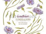Drawings Of Corn Flower Blue Cornflower Vector Set On White Background