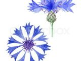 Drawings Of Corn Flower Thumb Colourbox13492247 Jpg 320a 320 Portselanimaal Aia Ja