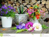 Drawings Of Flowers Pot Garden Dahlia Flower Pot Stock Photo Image Of Gardener 20429638