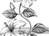 Drawings Of Hibiscus Flower 11 Best Hibiscus Drawing Images In 2019 Hibiscus Drawing Hibiscus