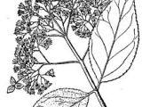 Drawings Of Hydrangea Flowers Hydrangea Cinerea Wikipedia