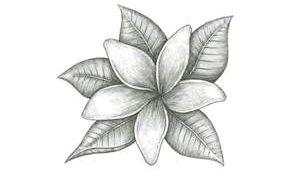 Drawings Of Jasmine Flowers Jasmine Flower Drawings Bing Images Finishes Tattoos Jasmine
