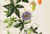 Drawings Of Passion Flower A A Ae Ae C Aoo Ae E Ao 18ssa E Pinterest Flowersa Passion Flower