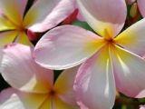 Drawings Of Plumeria Flowers 218 Best Plumeria Images Plumeria Flowers Drawings Gardens