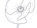 Drawings Of Poppy Flowers Learn How to Draw Poppy Flower Poppy Step by Step Drawing