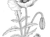 Drawings Of Poppy Flowers Single Poppy Shape Art Coloring Pages Drawings Flower Coloring