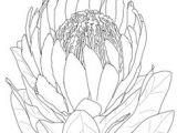 Drawings Of Protea Flowers 42 Best Proteas Images Drawings Flower Art Flowers