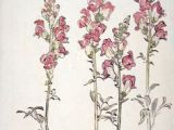 Drawings Of Snapdragons 42 Best Botanical Drawings Images Botanical Drawings Botanical
