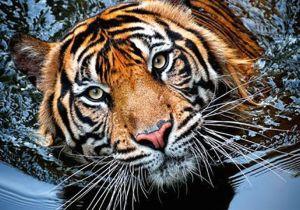 Drawings Of Tiger Eyes top 10 Photos Of Big Cats Animals Animals Animals Beautiful Cats