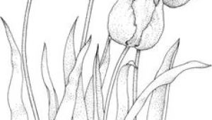 Drawings Of Tulip Flowers How to Draw A Tulip Step by Step Drawing Tutorials Draw Flowers