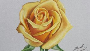Drawings Of Yellow Roses Yellow Rose Drawing by Marcello Barenghi by Marcellobarenghi