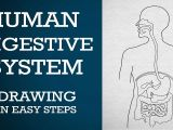 Easy Drawing for Class 1 Easy Way to Draw Human Digestive System Life Processes Ncert