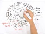 Easy Drawing for Class 1 How to Draw Human Brain Youtube