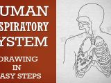 Easy Drawing for Class 1 How to Draw Human Respiratory System In Easy Steps 10th Biology
