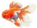 Easy Goldfish Drawing Telescope oranda the Goldfish Council Fish Drawings
