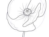 Easy Way to Draw A Flower Learn How to Draw Poppy Flower Poppy Step by Step