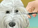Goldendoodle Drawing Easy How to Groom A Goldendoodle with Pictures Wikihow