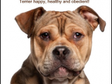 How to Draw A Staffy Dog Easy American Staffordshire Terrier Savvy Terrier Dogs Dogs