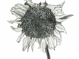 How to Draw Easy Sunflower Natalie Ratcliffe Sunflower Drawing Sunflower