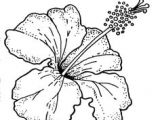 Line Drawing Of Hibiscus Flowers 33 Best Hybiscus Study Images Design Tattoos Hibiscus Line Art