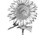 Magnolia Flower Drawing Easy Sun Flower by Jee Sun Kim Flower Art Drawing Drawings