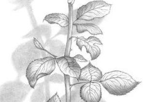 Nice Drawings Of Roses 61 Best Art Pencil Drawings Of Flowers Images Pencil Drawings