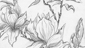 Pencil Drawings Of Magnolia Flowers From A Selection Of Henny S Magnolia Drawings and Sketches