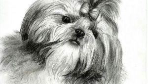 Shih Tzu Dog Drawing A A Doge A A A O A A A C O O Pinterest Shih Tzu Dogs