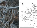 Skull Drawing Diagram Heptanema Sp Specimen Mcsn 8532 A Close Up Of the Skull B