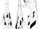 Skull Drawing Diagram Redondasaurus Gregorii Referred Skull Nmmnh P 4983 From Nmmnh