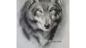 Steps Of Drawing A Gray Wolf A Step by Step Guide Of How to Draw A Wolf