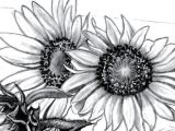 Sunflower Drawing Easy Step by Step How to Draw Sunflower Sunflower Drawing Sunflower