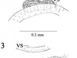 Unduh Drawing Cartoons 2 Neolebouria Truncata 2 Composite Drawing Of Cirrus Sac and Seminal