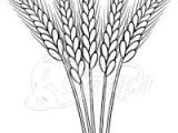 Wheat Drawing Easy 15 Best Wheat Drawing Images Wheat Drawing Wheat Tattoo
