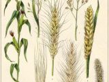 Wheat Drawing Easy Pin by Adella Guo On Scientific Drawings Botanical Prints