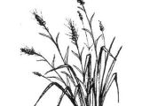 Wheat Drawing Easy Pin by Ananda Dillon On Ink Grass Drawing Magenta Flowers
