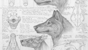 Wolf Dead Drawing Differences Between Dire Wolves and Grey Wolves Via the Palaeocast