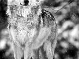 Wolf Jumping Drawing Die 457 Besten Bilder Von Wolfs Ideas for Drawing Sketches Of