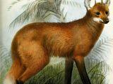 Wolf Nature Drawing Maned Wolf Zoology Pinterest Illustration Maned Wolf and Wolf