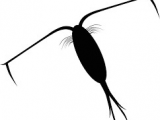 Zooplankton Drawing Easy Easy Drawings Of Zooplankton Google Search School Things